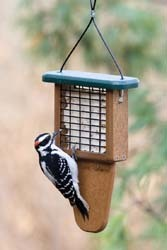 Downy Woodpecker - Tail Prop Suet Feeder
